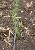 生长在农场的年轻辣椒树 免版税图库摄影