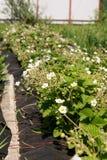 生长在农夫的床上的开花的草莓植物从事园艺 库存照片