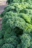 生长在农田,rea的绿色成熟无头甘蓝或卷曲叶子圆白菜 图库摄影