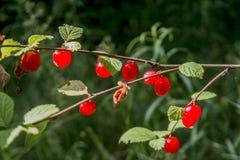 生长在分支的大量红色野生莓果在森林里 免版税图库摄影