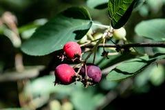 生长在分支的大量野生红色和黑莓果在森林里 图库摄影