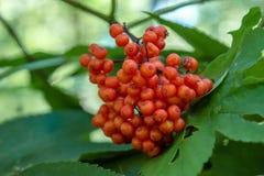 生长在分支的大量野生红色莓果在森林里 图库摄影
