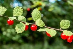 生长在分支的束红色野生莓果在森林里 免版税库存图片
