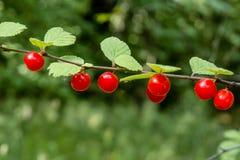 生长在分支的红色野生莓果在森林里 免版税库存照片