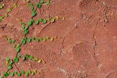 生长在古色古香的红色墙壁上的上升的植物 免版税图库摄影