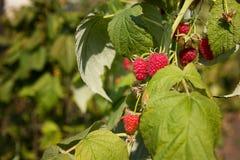 生长在叶子中的莓 免版税库存图片