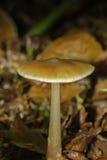 生长在叶子废弃物外面的伞菌 库存图片