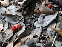 生长在叶子腐土的红色马勃菌蘑菇 图库摄影