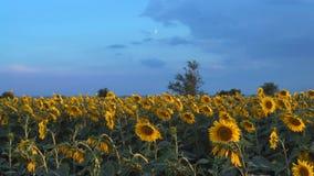 生长在向日葵的领域在蓝天的背景的 影视素材