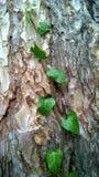 生长在吠声的常春藤的一个新的分支 免版税库存照片