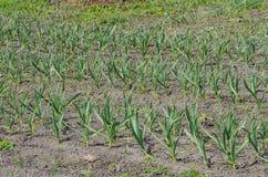 生长在土壤的大蒜 免版税库存图片