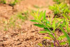 生长在土壤的年轻绿色植物 库存图片