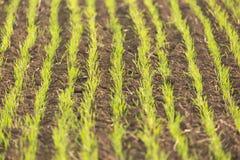 生长在土壤的年轻绿色麦子幼木 农业和农学概念 与选择聚焦的自然背景 库存图片