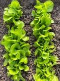 生长在土壤的绿色莴苣沙拉新鲜的叶子在庭院里 f 库存照片