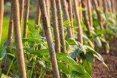 生长在土壤的年幼植物 库存图片