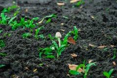 生长在土壤, Lumpini公园,曼谷的蘑菇 免版税图库摄影