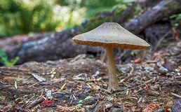 生长在地面上的大秋天蘑菇 免版税库存照片