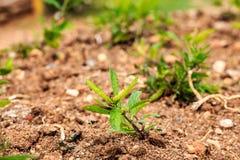 生长在地面上的年轻绿色植物 库存图片