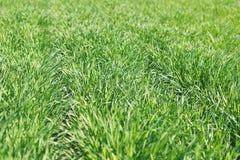 生长在域的新麦子 发芽麦子年轻人 免版税图库摄影