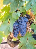 生长在塞图巴尔,葡萄牙的束红葡萄 库存照片