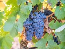 生长在塞图巴尔,葡萄牙的束红葡萄 库存图片