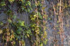 生长在墙壁上的常春藤在夏天 库存图片