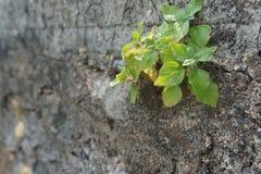 生长在墙壁的一个裂缝的绿色植物 免版税库存照片