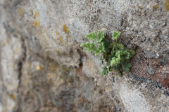生长在墙壁的小绿色植物 免版税图库摄影