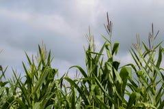 生长在夏天期间的玉米茎 库存照片