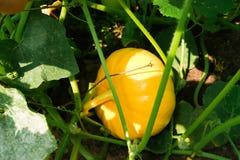 生长在夏天的一个小黄色南瓜在庭院里 免版税图库摄影