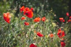 生长在夏天草甸的野生红色鸦片 库存图片
