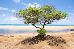 生长在夏威夷海滩的树 免版税库存照片
