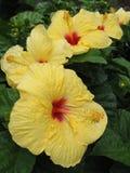 生长在夏威夷的多棵黄色木槿 库存照片