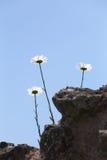 生长在天空的三朵雏菊 库存照片