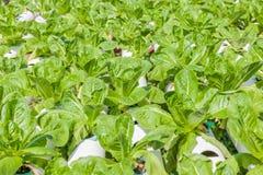 生长在室外的绿色莴苣沙拉水耕的技术  库存图片
