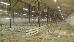 生长在家禽场待售他们的鸭子作为肉 影视素材