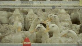 生长在家禽场的鸭子在畜栏 股票录像