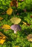 生长在密集的青苔的唯一蘑菇 免版税库存图片