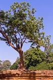 生长在寺庙,有一棵树的墙壁墙壁的树对此在高棉寺庙,暹粒,柬埔寨,东南亚 免版税库存照片