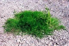 生长在小卵石之间的绿草绿洲 免版税库存图片