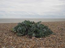 生长在小卵石木瓦海滩的绿色海无头甘蓝在海岸 免版税图库摄影