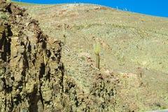 生长在小山的巨大的仙人掌 库存照片