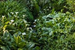 生长在小河附近的白色水芋百合 免版税库存照片