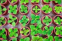 生长在小的棕色罐的盆的幼木在上面安排竞争 免版税库存图片