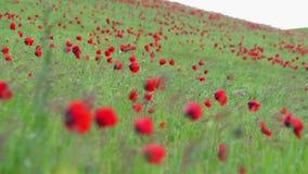 生长在山坡的开花的鸦片的领域 影视素材