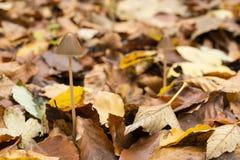 生长在山毛榉森林的地面的蘑菇 免版税图库摄影