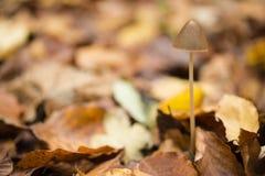 生长在山毛榉森林的地面的蘑菇 免版税库存照片