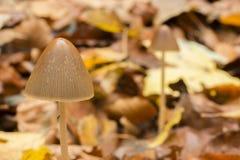 生长在山毛榉森林的地面的蘑菇 库存照片