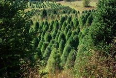 生长在山草甸的圣诞树 库存照片
