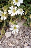 生长在岩石中的白花 库存照片